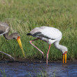 Stock Photo: Yellowbilled Stork (Mycteriibis) - Okavango Delt- Botswana