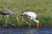 Yellowbilled Stork (Mycteria ibis) - Okavango Delta - Botswana — Stock Photo