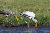 Yellowbilled Stork (Mycteria ibis) - Okavango Delta - Botswana — Stock Photo
