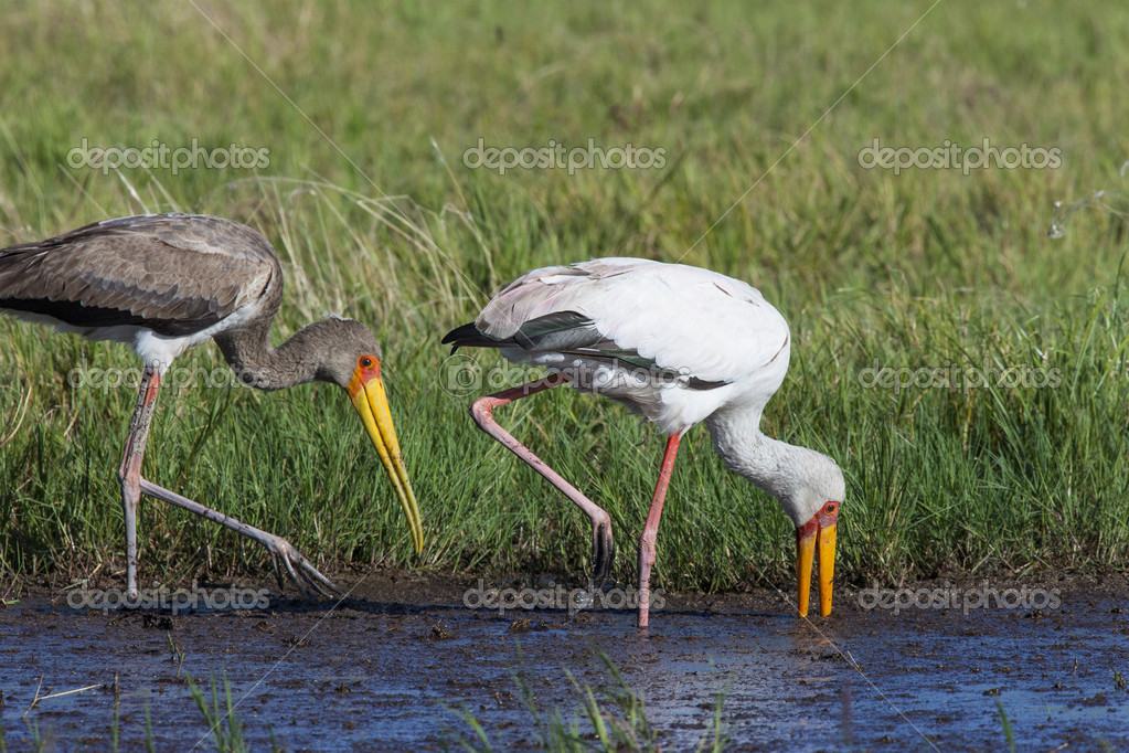 Yellowbilled Stork (Mycteria ibis) - Okavango Delta - Botswana. An adult Yellowbilled Stork (white plumage) and a juvenile feeding in the Okavango Delta in Botswana — Stock Photo #17370291
