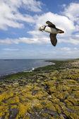 Puffin - Farne Islands - England — Stock Photo