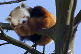 Red Panda - Southern China — Stock Photo