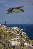 Puffins (Fratercula arctica) Farne Islands - England — Stock Photo