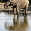 African Elephant (Loxodonta africana) - Botswana - Stock Photo