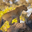 Stock Photo: Leopard - Botswana