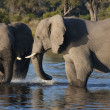 Stock Photo: AfricElephants - Botswana