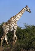 Giraffe - Botswana — Stock Photo