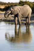 African Elephant (Loxodonta africana) - Botswana — Stock Photo
