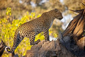 Leopard - Botswana — Stock Photo