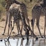 Постер, плакат: Giraffe Giraffa camelopardalis Namibia