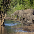African Elephants - Botswana - Stock Photo