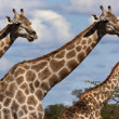 Stock Photo: Giraffe - Botswana