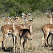 Impala (Aepyceros melampus melampus) Botswana — Stock Photo