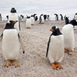 Gentoo Penguin Colony - Falkland Islands — Stock Photo