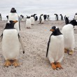 Gentoo Penguin Colony - Falkland Islands — Stock Photo #17444955