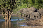 African Elephants - Botswana — Stock Photo