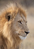 Male Lion - Botswana — Stock Photo