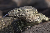 Water Monitor (Varanus niloticus) Botswana — Stock Photo