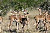 Impala (Aepyceros melampus melampus) Botswana — Stock Photo