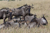 Wildebeest - Botswana — Stock Photo