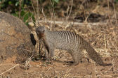 Banded Mongoose (Mungos mungo) Botswana — Stock Photo