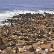 Cape Fur Seal Colony - Namibia - Stock Photo