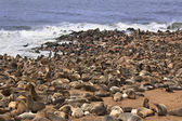 Cape Fur Seal Colony - Namibia — Stock Photo