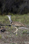 Kori Bustard - Namibia — Stock Photo