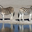 Plains Zebra (Equus quagga) - Namibia — Stock Photo #17482323