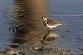 Threebanded Plover (Charadrius tricollaris) - Namibia — Stock Photo