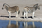 Plains Zebra (Equus quagga) - Namibia — Stock Photo
