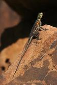 Namibian Rock Agama - Namibia — Stock Photo