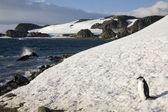 Carrillera pingüino - islas shetland del sur - antártida — Foto de Stock