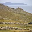 Sheep Farming - Carcass Island - Falkland Islands — Stock Photo