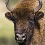 European Bison - (Bison bonasus) — Stock Photo #17625951