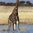 Giraffe at a waterhole in Etosha National Park in Namibia — Stock Photo