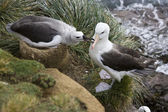 Black-browed Albatross - Falklands Islands — Stock Photo