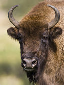 European Bison - (Bison bonasus) — Stock Photo