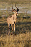 Young male Kudu - Namibia — Stock Photo