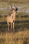 Kudu macho joven - namibia — Foto de Stock