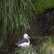 Stock Photo: Black-browed Albatross - Falklands Islands