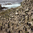 Rockhopper Penguin Colony - Falkland Islands - Stock Photo