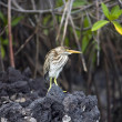 Striated Lava Heron - Galapagos Islands - Stock Photo