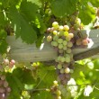 Постер, плакат: Winemaking Chile