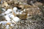 Cobbs Wren (Traglodytes cobbi) — Stock Photo