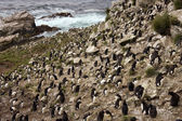 Rockhopper Penguin Colony - Falkland Islands — Stock Photo