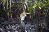 Striated Lava Heron - Galapagos Islands — Stock Photo