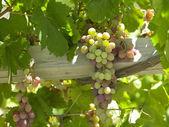 Winemaking - Chile — Stock Photo