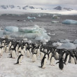Manchots Adélie - Antarctique — Photo #17691431