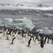 Adelie Penguins - Antarctica — Stock Photo #17691431